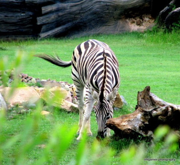 australia-zoo-animals-zebra
