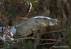 springbrook-national-park-goanna