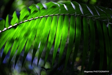 springbrook-national-park-green-fern-leaf