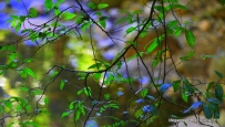 springbrook-national-park-leaves)