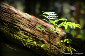 springbrook-national-park-log-fern