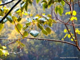 springbrook-national-park-tree-leaves
