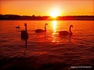 broadwater-black-swans-runaway-lagoons