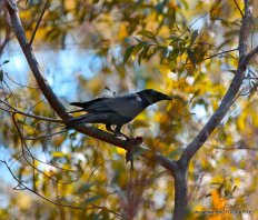 Coombahbah-Lakelands-Australian-Raven
