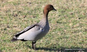 Coombahbah-Lakelands-Conservation-Area-Birds-005