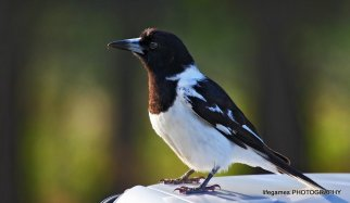 Coombahbah-Lakelands-Conservation-Area-Birds-011