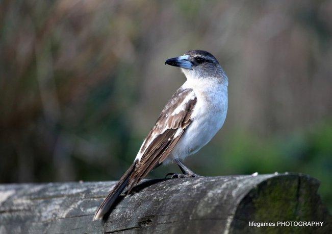 Coombahbah-Lakelands-Conservation-Area-Birds-023