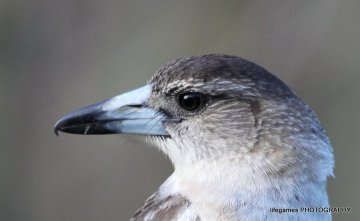 Coombahbah-Lakelands-Conservation-Area-Birds-024