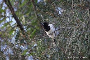 Coombahbah-Lakelands-Conservation-Area-Birds-033