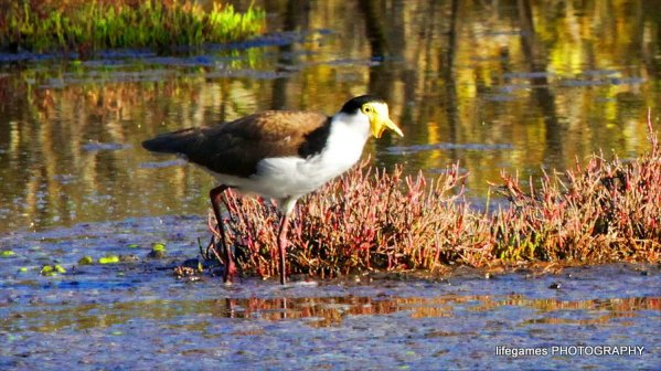 Coombahbah-Lakelands-wetland-birds-007
