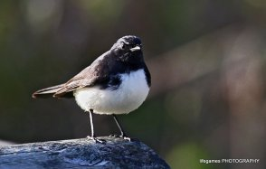 Coombahbah-Lakelands-Willie-Wag-Tail-005