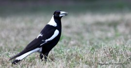 Coombahbah-magpie-005