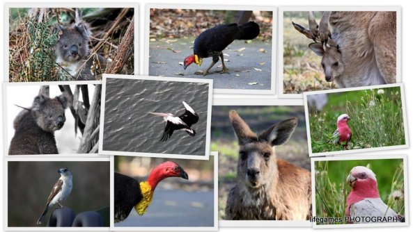 australian-native-birds-and-animals